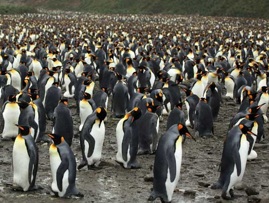 Penguins-530